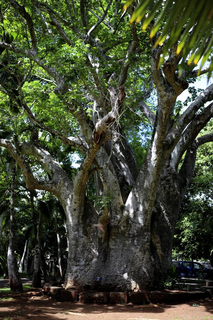 Le jardin de pamplemousse le maurice for Baobab jardin